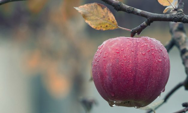 America's Forbidden Fruit: History of Apples in America